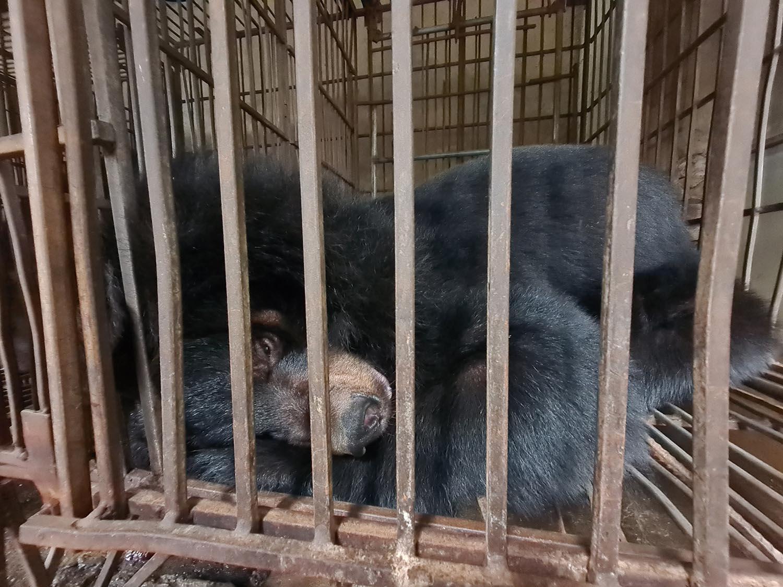 Help us end bile bear farming