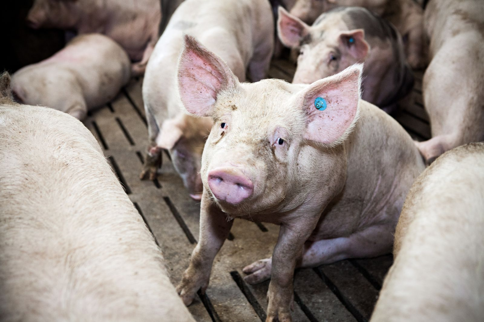 Das Leiden der Schweine in Österreich
