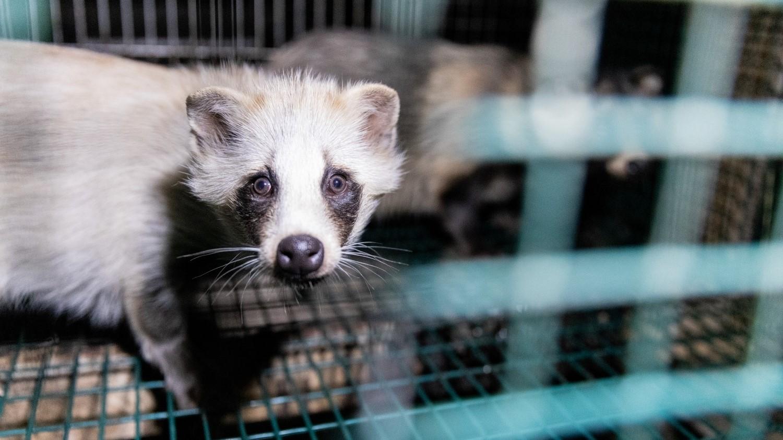 Raccoon dog in fur farm