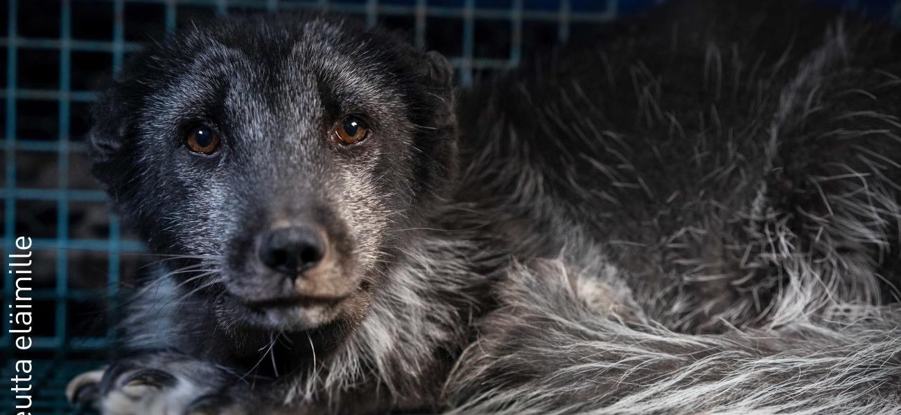 Millionen Tiere leiden für Pelz.