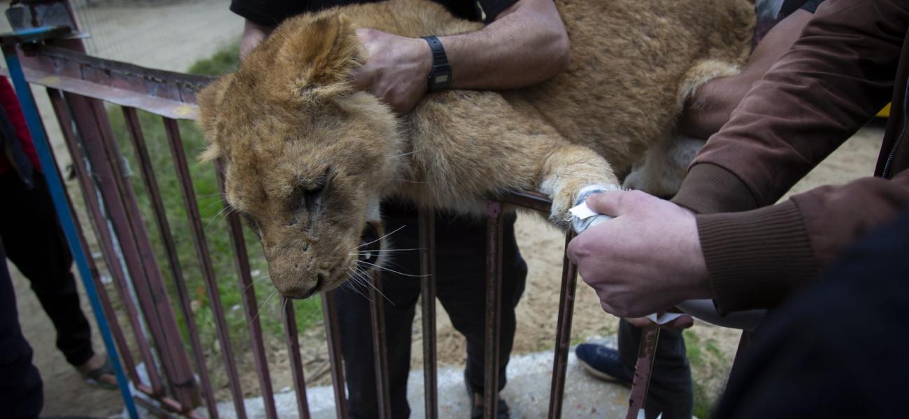 Löwin im Rafah-Zoo im Gaza-Streifen