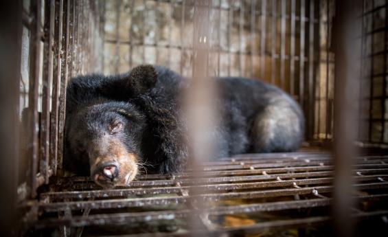 Gallebären in Vietnam: VIER PFOTEN | Bogdan Baraghin